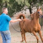 (Montana Firenze x TR Pristeen by Om El Bandeiras) 2014 Chestnut Filly
